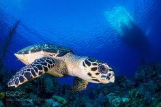 turtle by TomMeyer #nature #photooftheday #amazing #picoftheday #sea #underwater