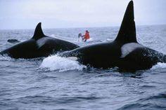 Marine biologist Nancy Black tracks two killer whales in the waters near Monterey Bay
