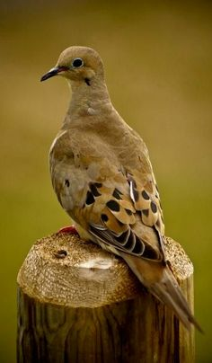 The mourning dove is a member of the dove family. The bird is also called the turtle dove or the American mourning dove or rain dove, and formerly was known as the Carolina pigeon or Carolina turtledove. Pretty Birds, Love Birds, Beautiful Birds, Animals Beautiful, Dove Pictures, Bird Pictures, Dove Hunting, Dove Pigeon, Mourning Dove