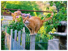 Balancing act ...... orange kitty
