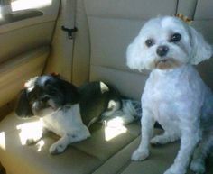 We love our furry babies...Margot the Shih Tzu and Dinah the Maltese. (from Shelly)