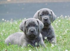 Blue Cane Corso puppies…I want one!!!