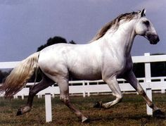 """Portuguese Horse """"Lusitano's Pure Blood""""! One Of  The Best Horses For  Investment !...  http://snk.to/1RQd"""