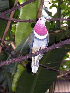 Pink-headed fruit dove (Ptilinopus porphyreus) by coracii, via Flickr