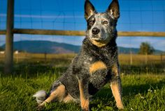 Pet Breeds Quiz: How well do you know your dog breeds? Aussie Cattle Dog, Australian Cattle Dog, Cattle Dogs, Maremma Sheepdog, Pet Breeds, Dog Rules, I Love Dogs, Dogs And Puppies, Doggies