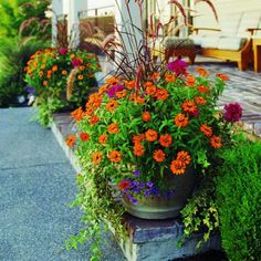 Plant a pot of living color ~ Purple   fountain grass, Zinnia 'Profusion Orange', Pelargonium 'Tango Violet',variegated   English ivy (Hedera helix 'Gold Ripple'), Calibrachoa 'Liricashower Blue', and   Acorus gramineus.