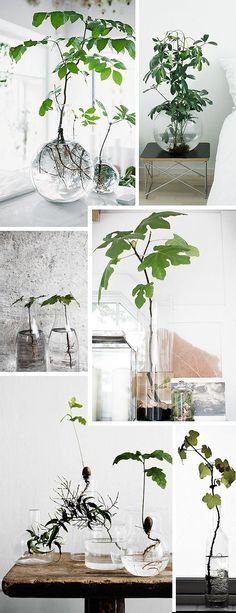 glazen  vazen met zichtbare wortels | (re)Pinned by www.INinterieurs.nl