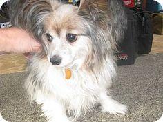 Riley Township, MI - Papillon. Meet Bosco a Dog for Adoption.