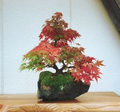 言葉を失う「美しい石付盆栽」の数々 もっと見る
