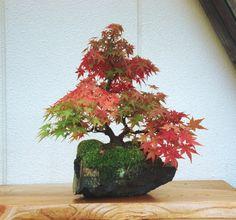 石付盆栽....... lovely language and lovely bonsai