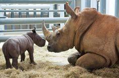 Newborn white rhino at Disney's Animal Kingdom