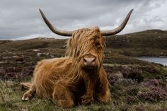 The famous hairy cow in scotland. So cute