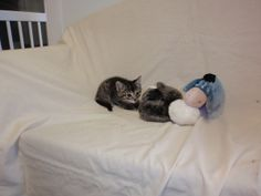 Ben is an adoptable Tabby - Black Cat in Altoona, PA. Toddler Bed, Cats, Animals, Furniture, Black, Home Decor, Child Bed, Gatos, Animales