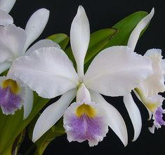 Cattleya gaskelliana var. caerulea   Gena Jogolev   Flickr