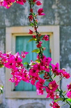 bougainvillea.. iorfu Island, greece | flickr - photo by hydraheerd