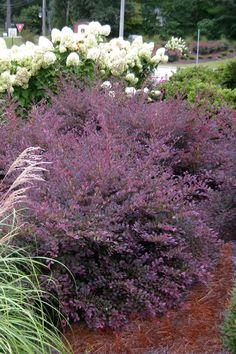 Roses For Sale Near Me >> Purple Diamond Loropetalum Lime Mound Spirea Blushing Knockout Rose | Garden | Wooded ...