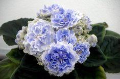 African violet 'RS - Akvamarin' / 'Aquamarine' Ukrainian, very double, frilled, standard