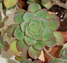 340 Ideas De Aeonium Suculentas Plantas Plantas Suculentas