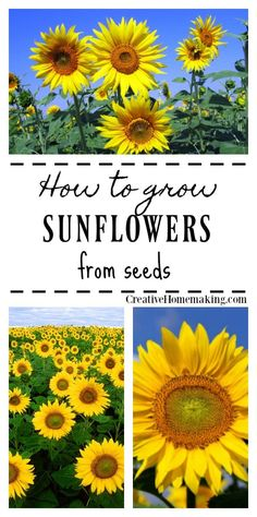 Growing Organic Tomatoes Easy tips for growing sunflowers from seed. - Easy expert tips for growing sunflowers from seed. Growing Sunflowers From Seed, Growing Tomatoes From Seed, Growing Tomato Plants, Planting Sunflowers, Grow Tomatoes, Growing Sunflowers Outdoors, Growing Seeds, Growing Flowers, Planting Vegetables