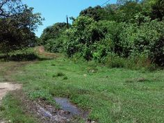 Jamaica Country, Guava Tree, Land For Sale, Acre, Holland, Lust, Bamboo, Buildings, Outdoor Decor