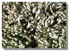 White heather