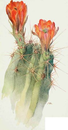 Hedgehog cactus (Echinocereus polyacanthus) from the Western wild flowers book…