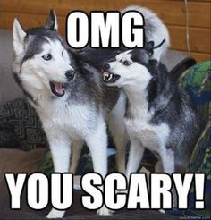 Silly dogs! Huskies have the best facial expressions!