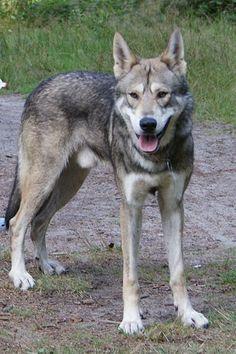 The Saarloos wolfdog (Dutch: Saarlooswolfhond) is an established breed of a wolfdog hybrid. Tamaskan Dog, Golden Retriever Training, Utonagan Dog, Wolf Dog Breeds, Wolf Dogs, Wolfdog Hybrid, Canis, Czechoslovakian Wolfdog, Dog Breeds