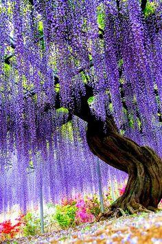 Japan/Tochigi - Ashikaga Flower Park ( Wisteria ).