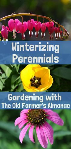 Get your garden ready for winter! Protect your perennials with advice from The Old Farmer's Almanac.