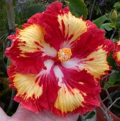 colors giant hibiscus seeds Dinnerplate Hibiscus Perennial Flower Flower for home garden planting Strange Flowers, Rare Flowers, Exotic Flowers, Beautiful Flowers, Hibiscus Plant, Hibiscus Flowers, Tropical Flowers, Yellow Hibiscus, Flowers Perennials