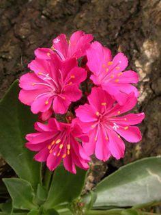 ♥ ✿✿✿ Lewisia Cotyledon. ✿✿✿ (flowers)