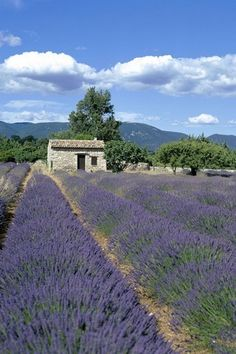 Lavender fields beckon a graceful step. Lavender Blue, Lavender Fields, Lavander, Beautiful Flowers, Beautiful Places, Ground Cover Plants, Nice View, The Great Outdoors, Landscape Paintings