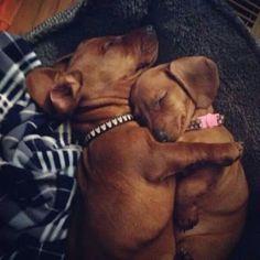 Dachshund ♥ Hug a Doxie.