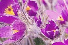 http://shop.unquadratodigiardino.it/ellebori-e-altri-fiori-invernali/214-pulsatilla-vulgaris-subsp-grandis-papageno.html