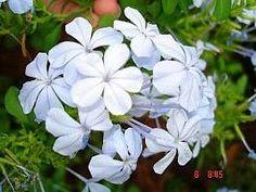 Mais no site: http://www.jardineiro.net/plantas/bela-emilia-plumbago-auriculata.html  Nome Científico: Plumbago auriculata  Nomes Populares: Bela-emília, Dentilária, Jasmin-azul, Plumbago  Família: Plumbaginaceae  Categoria: Arbustos, Arbustos Tropicais, Cercas Vivas  Clima: Oceânico, Subtropical, Tropical  Origem: África, África do Sul  Altura: 0.9 a 1.2 metros, 1.2 a 1.8 metros, 1.8 a 2.4 metros, 2.4 a 3.0 metros  Luminosidade: Meia Sombra, Sol Pleno  Ciclo de Vida: Perene
