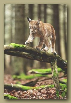 Eurasian Lynx walking a deadfall log