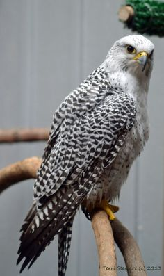 Mindful Monday: I See You!  falcon's eyes search hearts of bystanders longing for home … What are you noticing today?