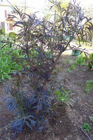 Less Noise, More Green: Pruning Black Lace Elderberry Bushes Elderberry Growing, Elderberry Shrub, Elderberry Cuttings, Elderberry Recipes, Fruit Garden, Garden Trees, Edible Garden, Outdoor Plants, Outdoor Gardens