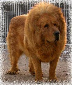 Tibetan Mastiff Lion   Tibetan Mastiff... These dogs are huge!