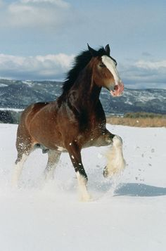 A Budweiser Clydesdale in the snow. Clydesdales are pretty docile by nature, which is helpful for as big as they are.