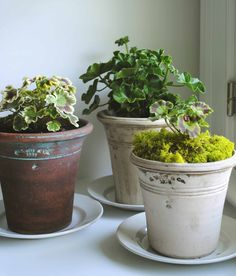 """Tone on Tone: My New Home Office.  """"My latest plant obsession: fancy leaf geraniums. I am growing these for the foliage, and will pinch off the flowers unless they are white :-) """""""