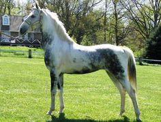 Just The Right Horse American Saddlebred Farm - Spotz Magestic