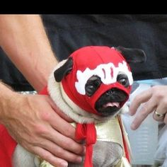 Luchador pug is ready to hit the mat