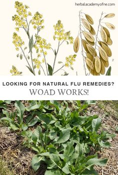 Looking for Natural Flu Remedies? Woad Works!