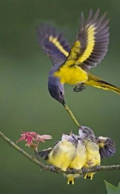 Feeding the little ones the fast food way.  I'm certain this is much healthier.   Beautiful mother and baby hummingbirds.