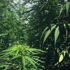 20'000 m2 of weed #bernardrappaz #cannabis #swiss #madeinswitzerland #bio #label #weed #cbd #holyweed #marijuana #thebeach #cannabislegal #highcbd #switzerland #cannabiscommunity #cannabidiol #420