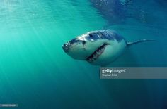 Stock Photo : Great white shark (Charcharodon carcharias) underwater view