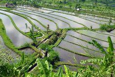 """Rizières et paysages """"carte postale"""" de Bali"""