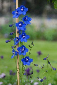 Blue delphinium, one of my mamas favorite :) Unusual Flowers, Amazing Flowers, My Flower, Beautiful Flowers, Garden Plants, House Plants, Fruit Garden, Floral Design Classes, Blue Delphinium
